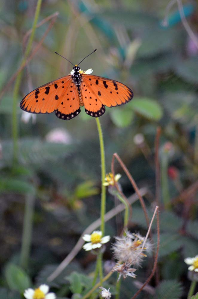 coster tawny-AsiaPhotoStock
