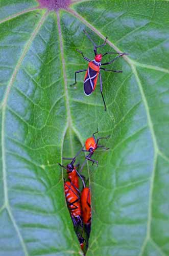 cotton stainer bugs-AsiaPhotoStock
