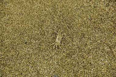 camouflaged crab-AsiaPhotoStock