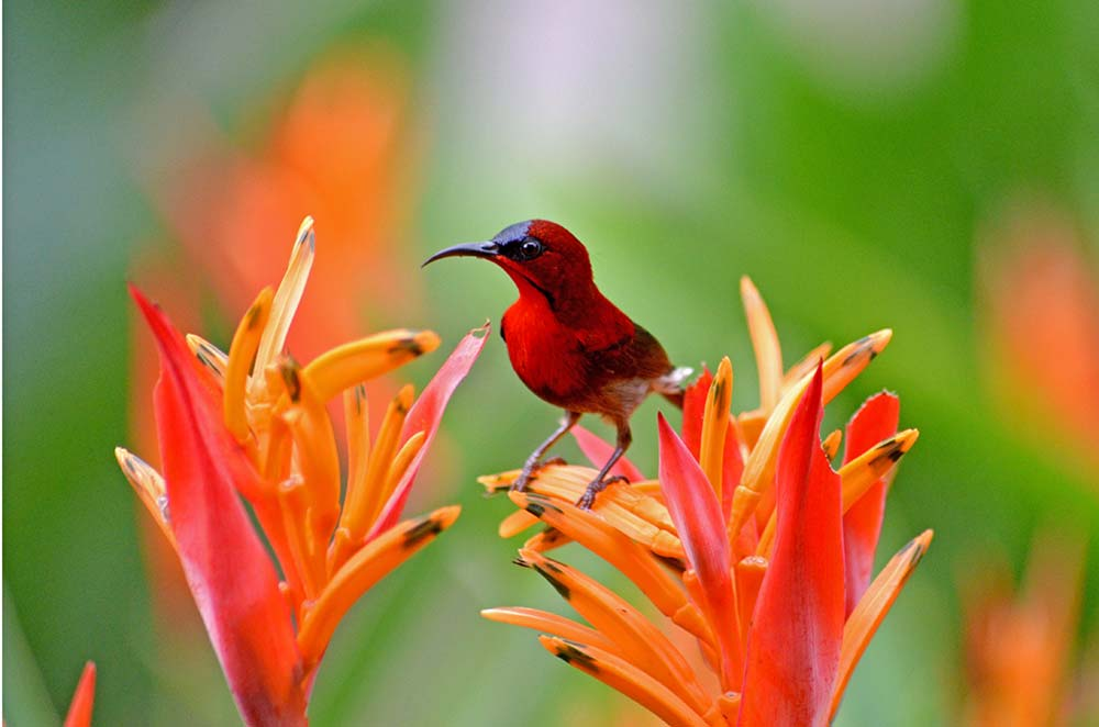 red bird and heliconia-AsiaPhotoStock
