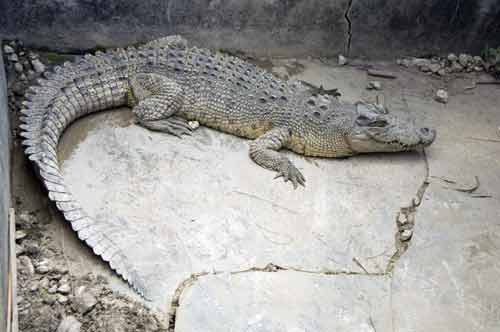 injured crocodile-AsiaPhotoStock