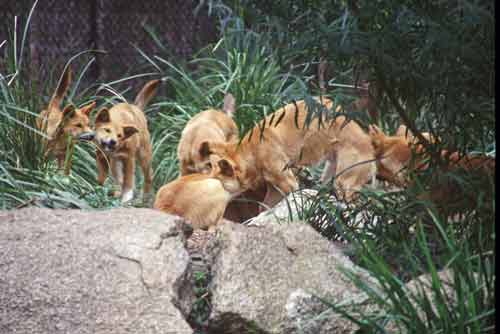 dingoes-AsiaPhotoStock