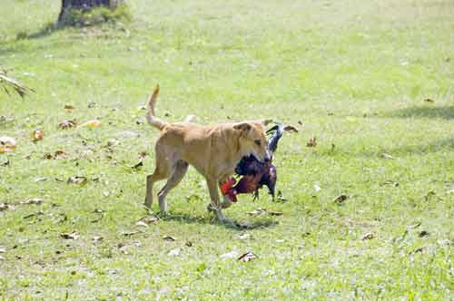 dog catches chicken-AsiaPhotoStock