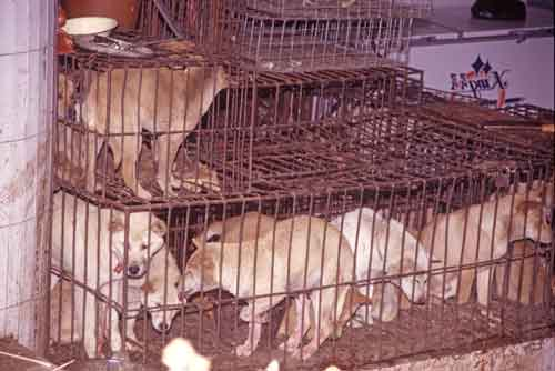 caged dogs-AsiaPhotoStock