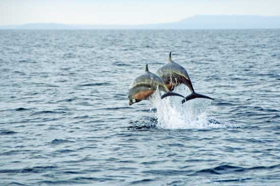 marine dolphins jumping-AsiaPhotoStock