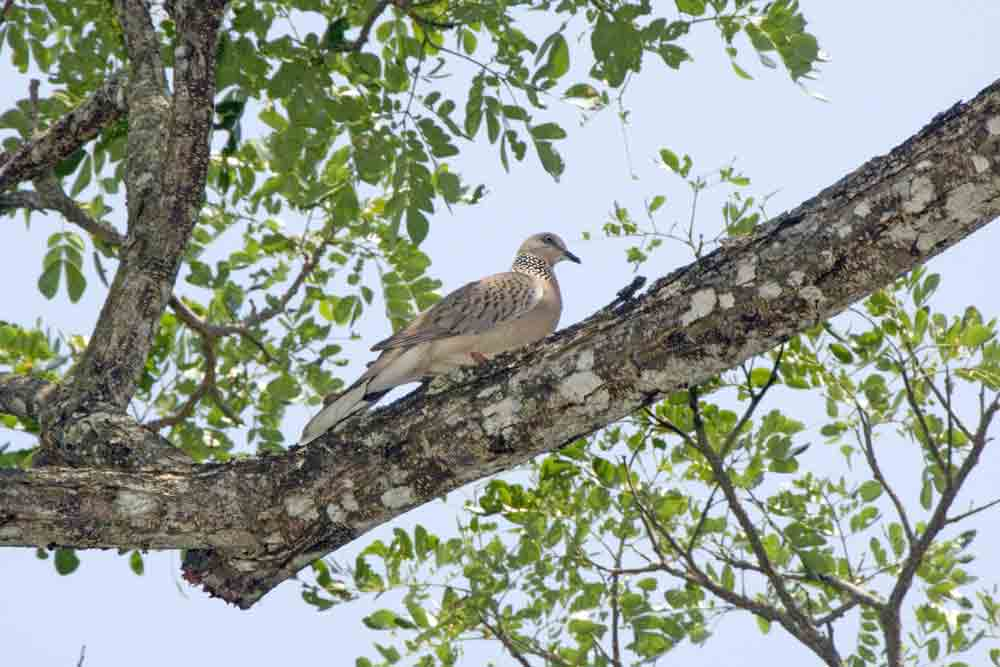 spotted dove pasir ris-AsiaPhotoStock