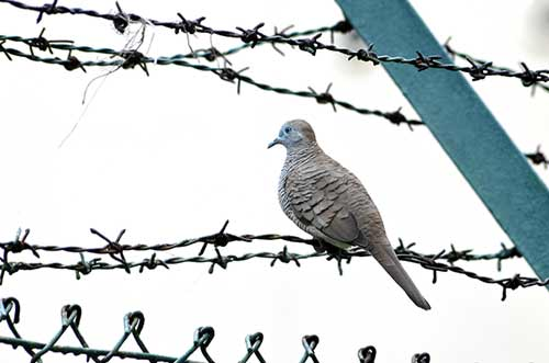 dove on wire-AsiaPhotoStock