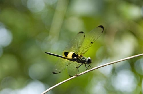 yellow dragon fly-AsiaPhotoStock