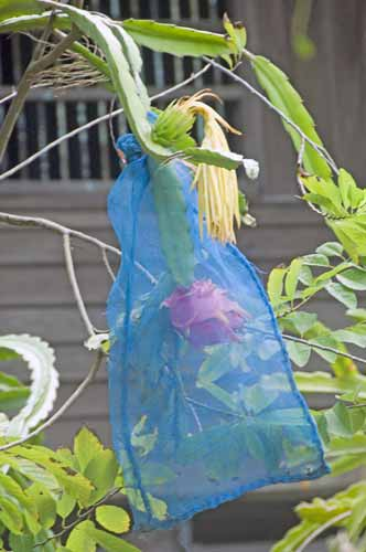dragon fruit in blue bag-AsiaPhotoStock