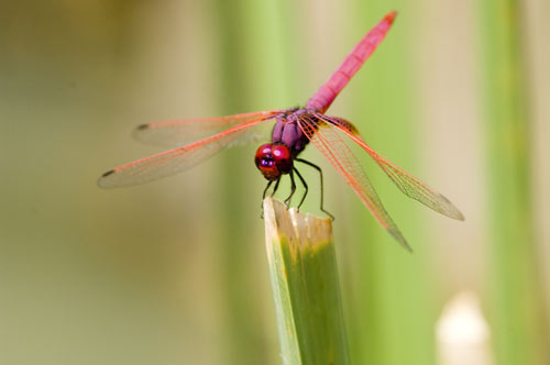 pink dragon fly-AsiaPhotoStock