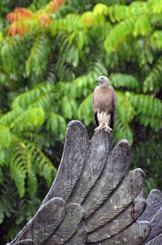 eagle grey headed-AsiaPhotoStock