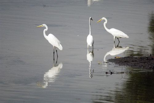 intermediate egret-AsiaPhotoStock