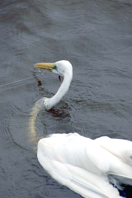 egret caught on fish line-AsiaPhotoStock