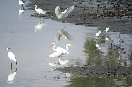 different types of egrets-AsiaPhotoStock