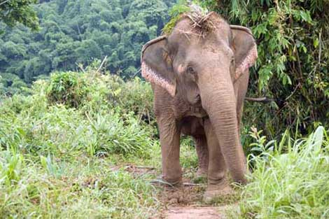 elephant in jungle-AsiaPhotoStock
