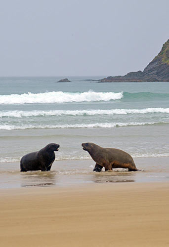 sea lions face off-AsiaPhotoStock