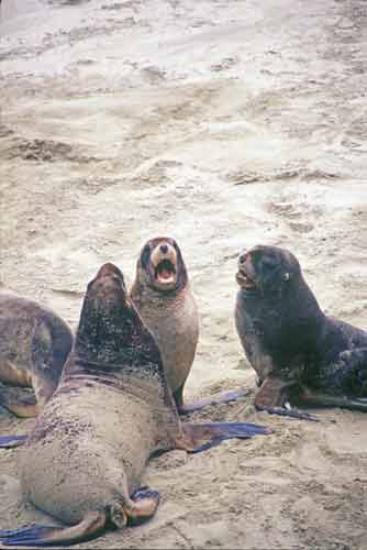 family of sea lions-AsiaPhotoStock