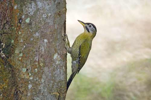 female laced woodpecker-AsiaPhotoStock