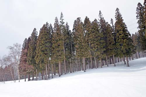 fir trees in snow-AsiaPhotoStock