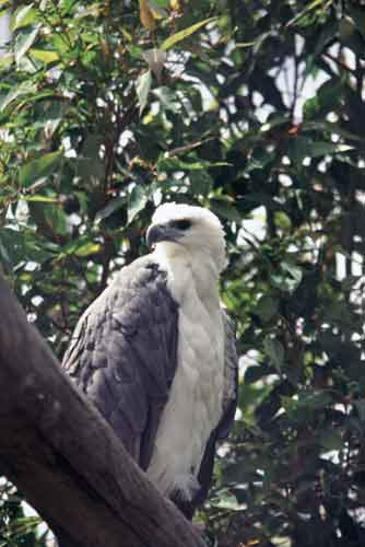 white bellied fish eagle-AsiaPhotoStock