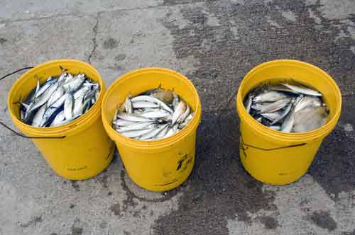 fish in yellow buckets-AsiaPhotoStock