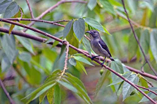 flowerpecker female-AsiaPhotoStock