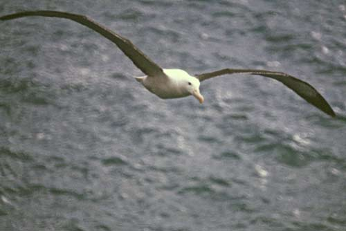 flying albatross nz-AsiaPhotoStock