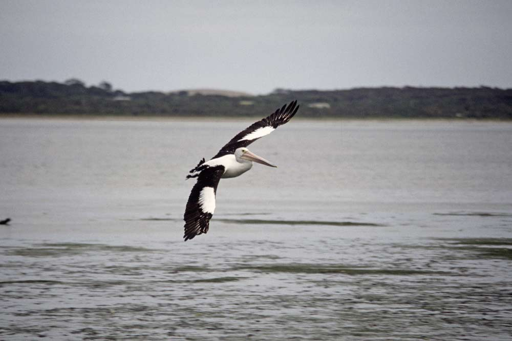 flying pelican-AsiaPhotoStock