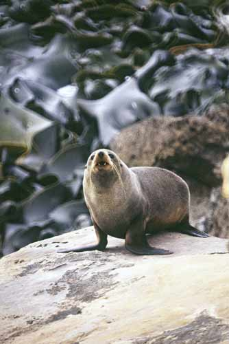 new zealand seal-AsiaPhotoStock