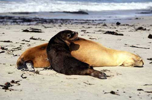 fur seals-AsiaPhotoStock