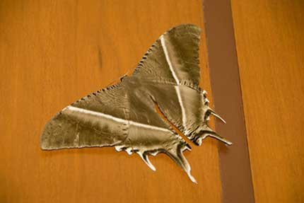 giant swallow tail moth-AsiaPhotoStock