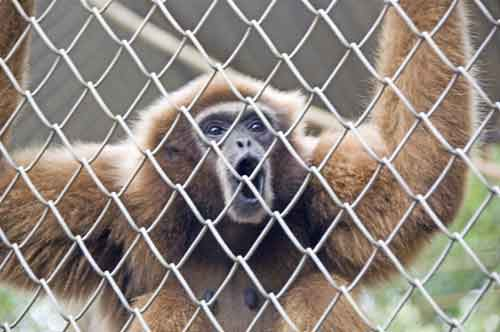 gibbon in captivity-AsiaPhotoStock