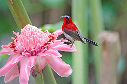 ginger and sunbird-AsiaPhotoStock