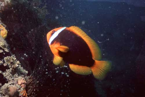 clown fish-AsiaPhotoStock