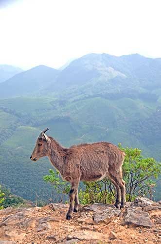 goat mountain-AsiaPhotoStock