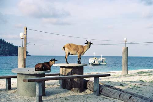 goats on table-AsiaPhotoStock