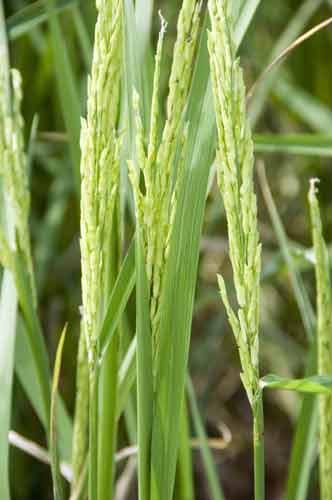 seeds of rice-AsiaPhotoStock