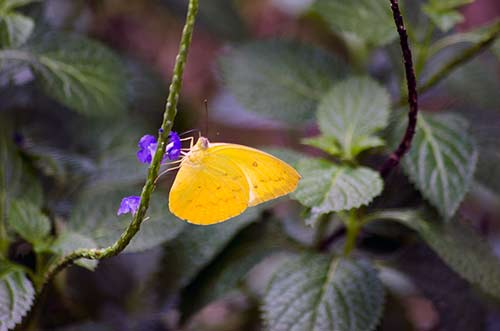 grass yellow-AsiaPhotoStock