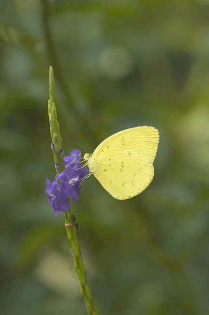 grass yellow butterfly-AsiaPhotoStock