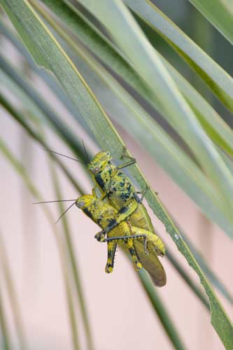two mating grasshopper-AsiaPhotoStock