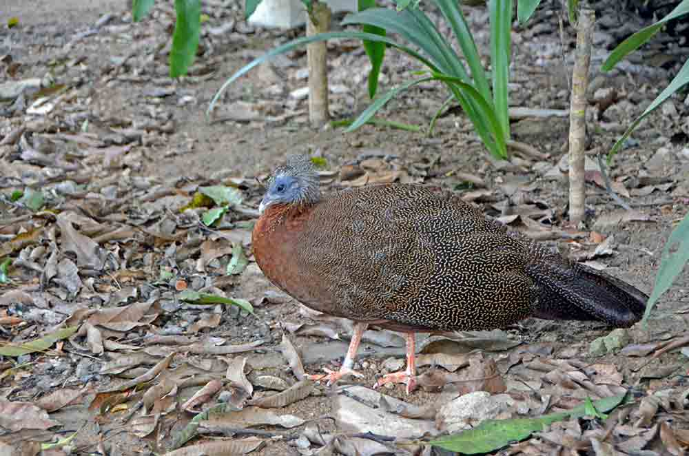 great argus pheasant-AsiaPhotoStock