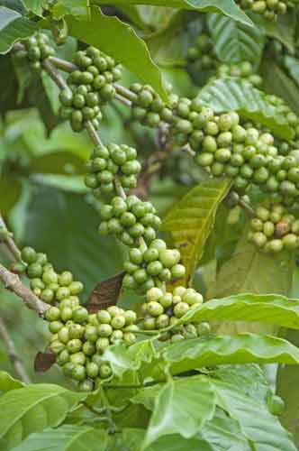 green coffee beans-AsiaPhotoStock