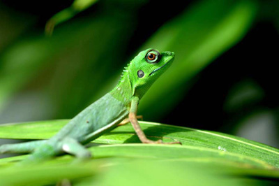 green crested lizard-AsiaPhotoStock