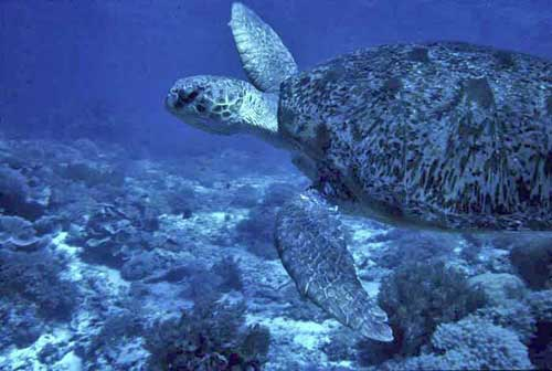 green turtle swimming-AsiaPhotoStock