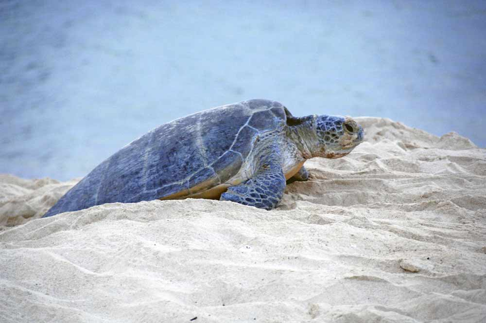 green turtle talang-AsiaPhotoStock