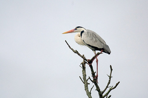 grey heron-AsiaPhotoStock