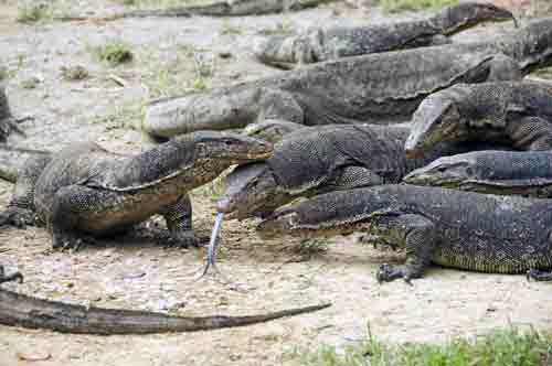 group of monitor lizards-AsiaPhotoStock