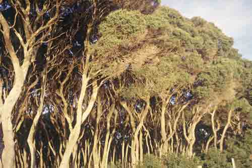 gum trees-AsiaPhotoStock