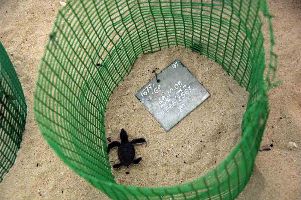 hatchling green turtle-AsiaPhotoStock
