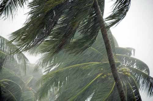 coconut trees in storm-AsiaPhotoStock